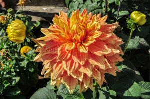 "Dahlia ""Sam Huston"" by Joydeep. Native to Mexico, the plants were discovered by Europeans in the sixteenth century. The Aztecs used their hollow stems for water pipes."