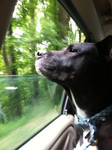 """Sam, our pit bull - Labrador mix, enjoying one of his favorite pastimes, """"riding dirty."""""""
