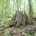 Chestnut_stump