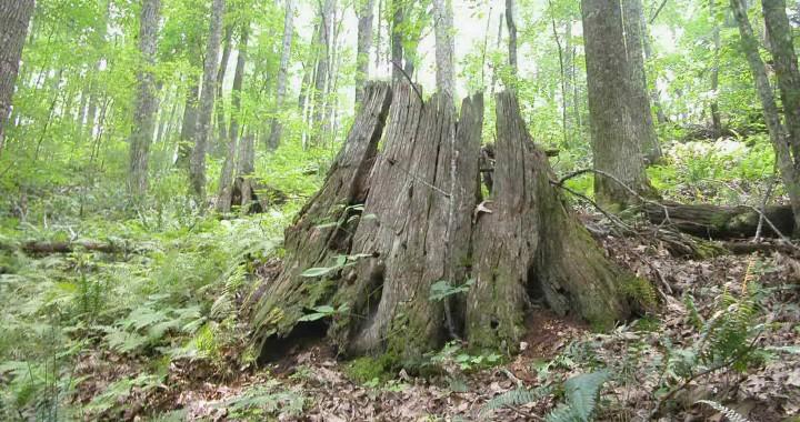 Chestnut_stump