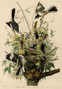 Mocking_Bird_(Audubon)